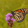 5016 Monarch on Rough Blazing Star:
