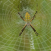 Orb Weaver Spider close-up