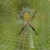 Orb Weaver Spider close-up