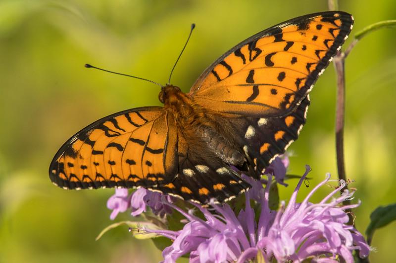 Male Regal Fritillary Butterfly