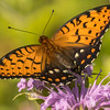 Male Regal Fritillary Butterfly