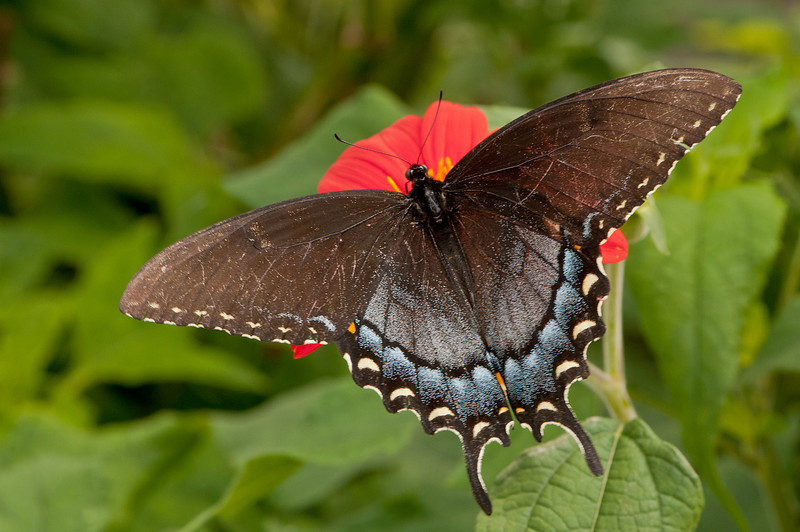 INST-11019: Black phase Female Tiger Swallotail (Papilio glaucas)