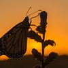 Monarch at twilight