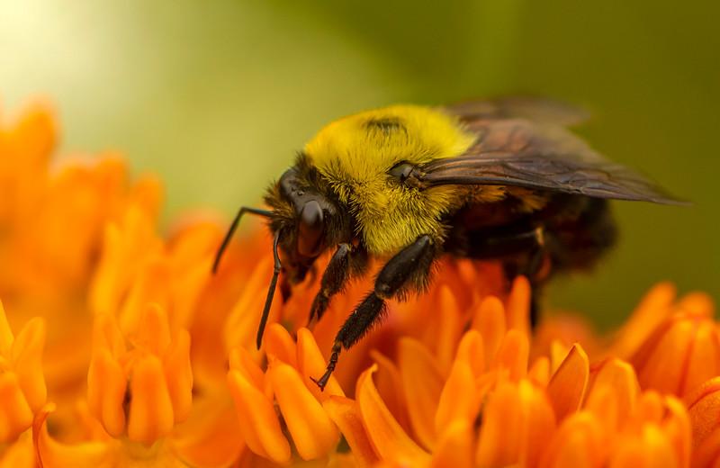 Bumble Bee on Butterfly Milkweed