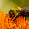 Bumble Bee on Butterfly Milkweed