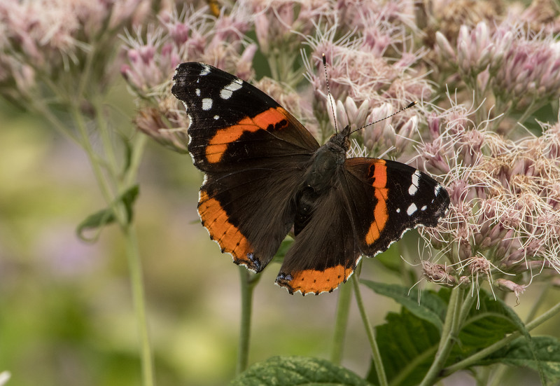 Red Admiral wing spread