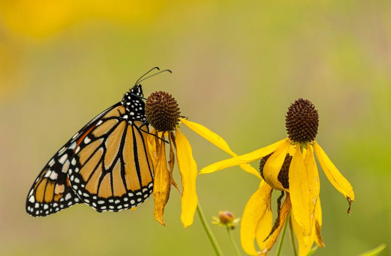 Monarch on Gray-headed Coneflower
