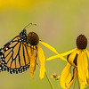 Monarch on Gray-headed Coneflower