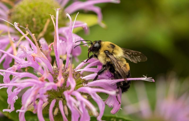 Bumble Bee on Wild Bergamot