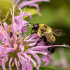 Bumble Bee on Wild Bergamot