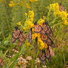 Monarchs on Stiff Goldenrod