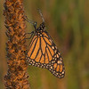 Monarch on Mullein