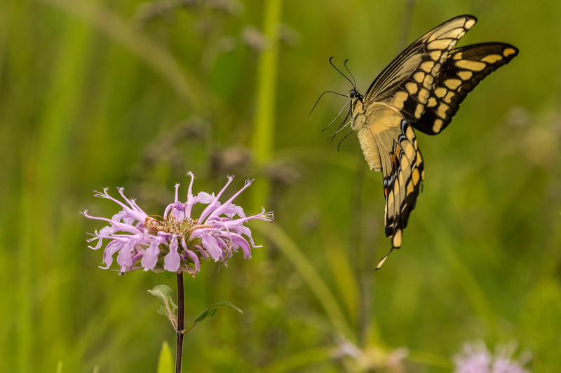 Giant Swallowtail coming in