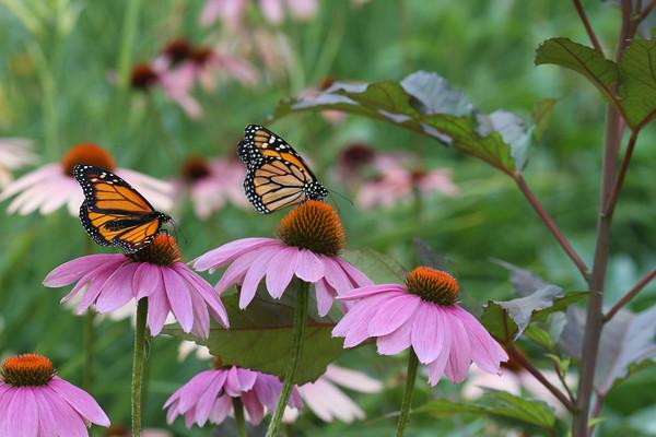Monarch Butterfly's #2 (Danaus plexippus)