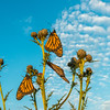 Monarch trio on thistle