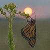 Dew-covered Monarch at sunrise