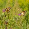 Field Thistle with nectarine Monarchs