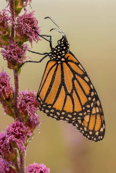 Dew Covered Monarch