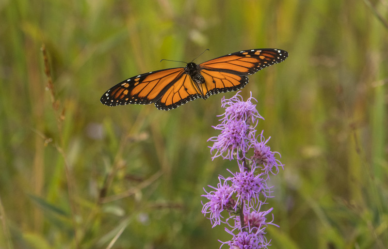Monarch heading out