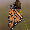 Dew-covered Monarch on seed head