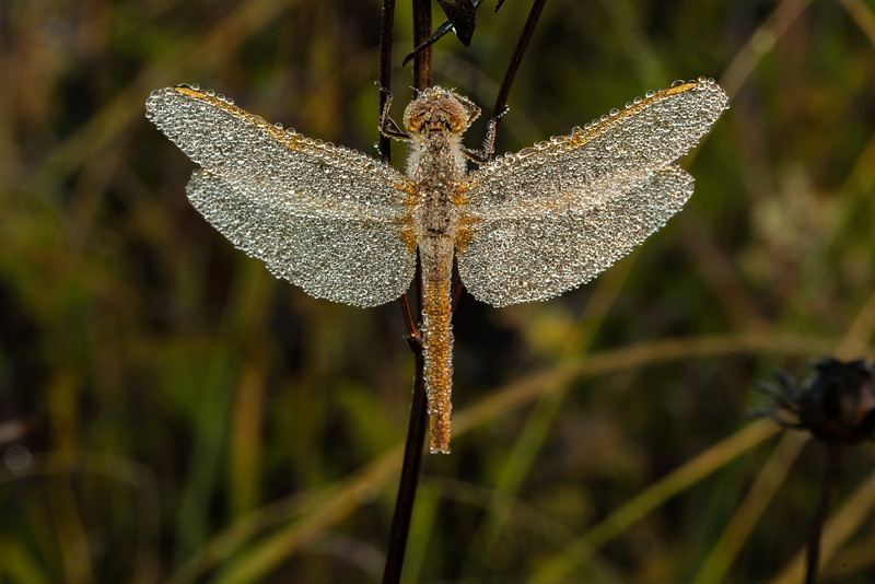 INST-13-80: Dew-covered Dragonfly