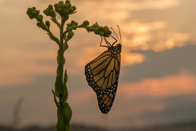 Monarch on Stiff Goldenrod at sunrise