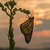 Monarch on Stiff Goldenrod at sunrise