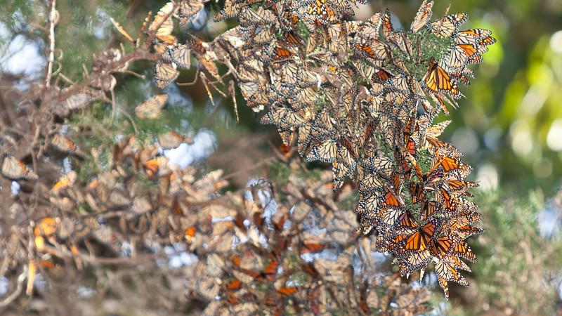 Pismo Beach; Monarch Butterflies