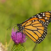 Monarch of Field Thistle