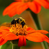 Bumble bee on Mexican Sunflower
