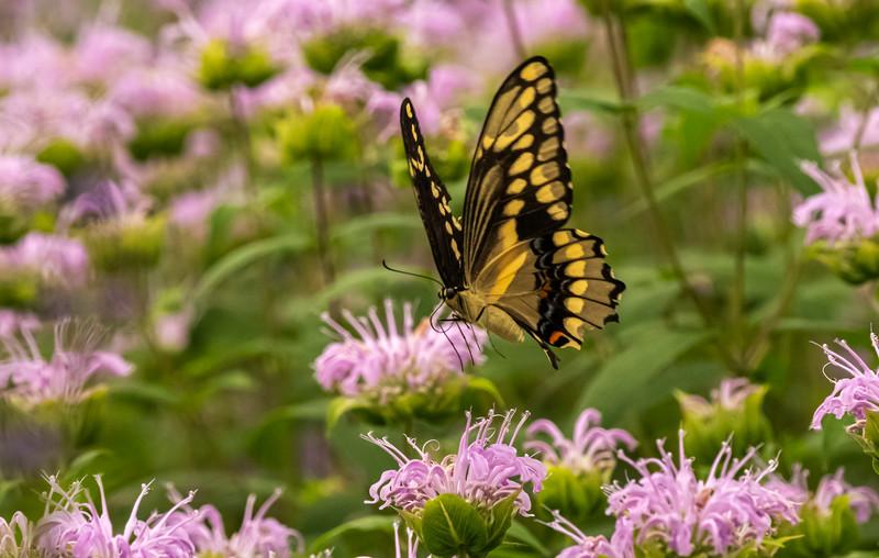 Giant Swallowtail in flight