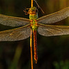Dew-covered Green Darner Dragonfly