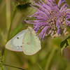 Female Orange Sulphur