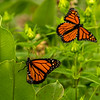 Monarchs on Common Milkweed