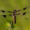 Twelve-spot Skimmer