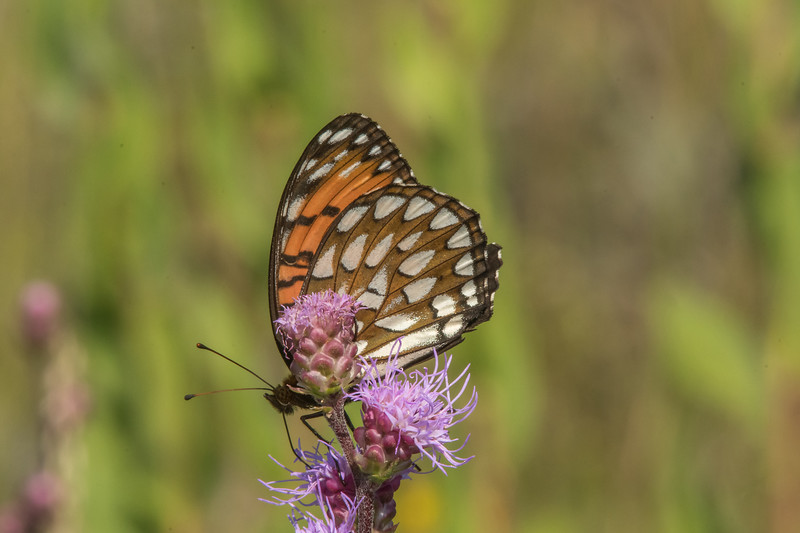 Regal Fritillary on Rough Blazing Star