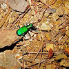 Six-spotted Tiger Beetle (Cicindela sexguttata) on the Rich Mountain Loop Trail, Great Smoky Mountains