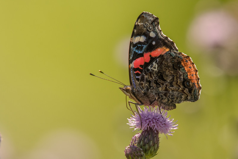 Red Admiral nectaring on Field Thistle