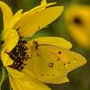 Orange Sulphur Butterfly on Sunflowers