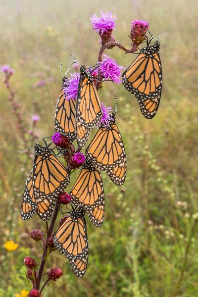Roosting Monarchs on Meadow Blazing Star