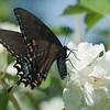 Eastern Tiger Swallowtail (Female, Black Form)