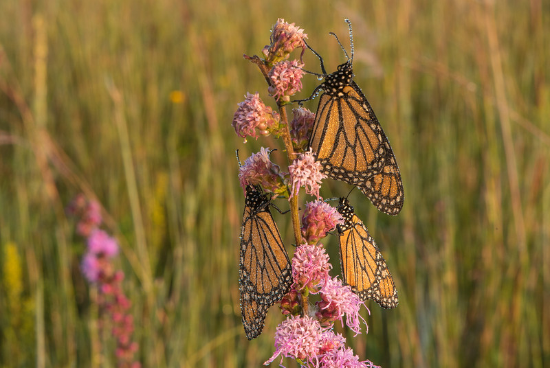 Trio of Monarch Butterfly's