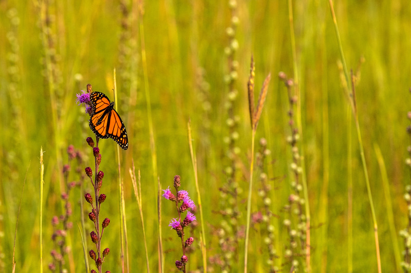 Monarch on the prairie