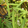Monarch Butterfly (Danaus plexippus) On Butterfly Weed With Empty Chrysalis