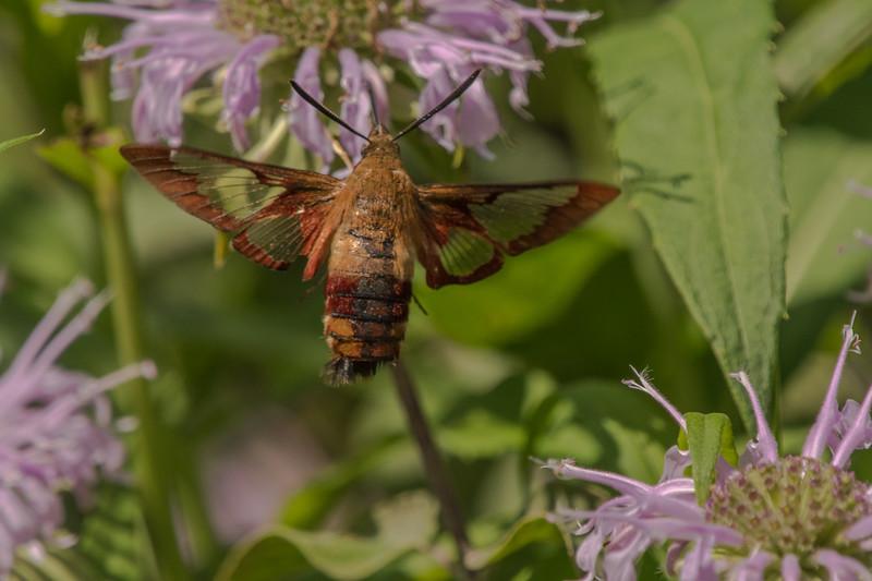 Hummingbird Moth on Bee Balm
