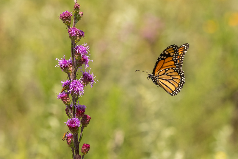 Monarch heading to Meadow Blazing Star