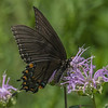 Black Swallowtail on Wild Bergamot