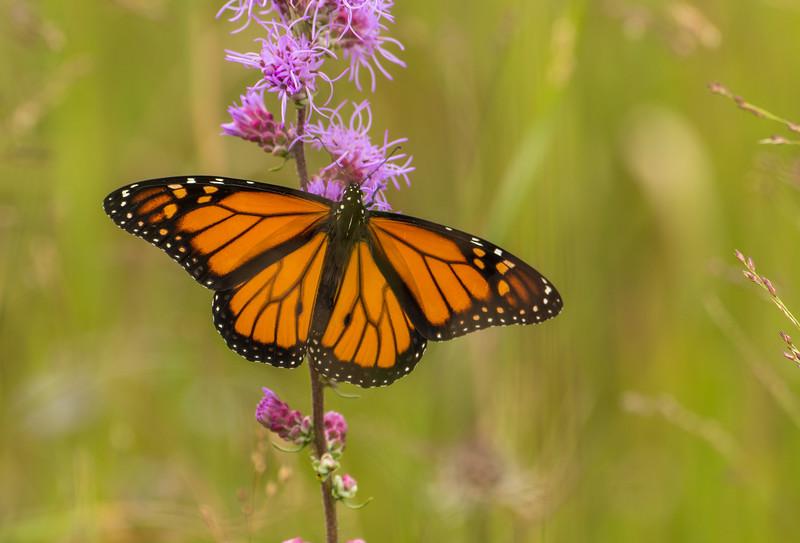 Monarch nectarine on Rough Blazing Star