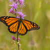 Monarch nectarine on Rough Blazing Star