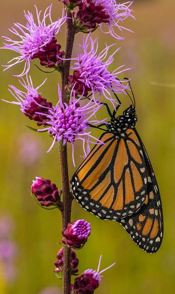 Monarch on Rough Blazingstar